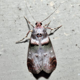 5588 - Orange-tufted Oneida Moth - Oneida lunulalis