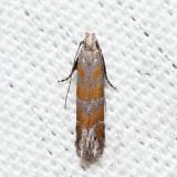 2229 – Stripe-backed Moth – Battaristis vittella