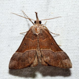 8455 - Red-footed Hypena - Hypena eductalis