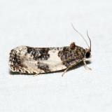 2769 – Poplar Leafroller – Pseudosciaphila duplex