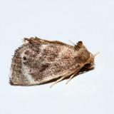 4661 – Elegant Tailed Slug Moth – Packardia elegans