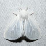 8133 – Pink-legged Tiger Moth – Spilosoma latipennis