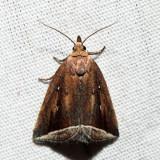 9059 - Curved Halter Moth - Capis curvata
