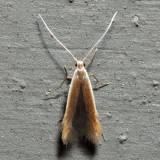 1291 – Pecan Cigar Casebearer – Coleophora laticornella