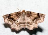 6828 - Purplish Metarranthis - Metarranthis homuraria (female)