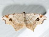 6326 - Common Angle - Macaria aemulataria (female)