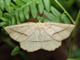6739 – Least-marked Euchlaena – Euchlaena irraria