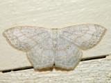 7169 – Soft-lined Wave – Scopula inductata