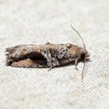 3233 – Northern Boxelder Twig Borer Moth – Proteoteras crescentana