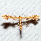6091 – Grape Plume Moth – Geina periscelidactylus
