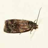 2832 – Olethreutes albiciliana