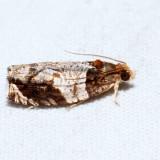 2827 – Hydrangea Leaftier – Olethreutes ferriferana