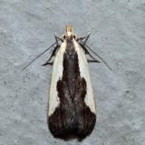 2297 – Indented Dichomeris – Dichomeris inserrata