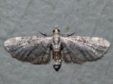 7474 - Common Eupithecia - Eupithecia miserulata (female)