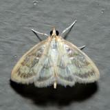 4945 - Pale-winged Crocidophora - Crocidophora tuberculalis