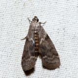 5767 – Oreana unicolorella