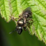 Lasioglossum sp.  (Subgenus Dialictus)