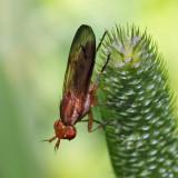 Marsh Fly - Tetanocera plumosa