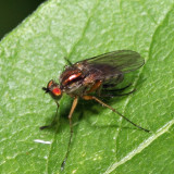Long-legged Fly - Dolichopus sp.