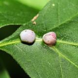 Contarinia undescribed-species-on-boxelder