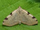 7674 - Three-spotted Fillip - Heterophleps triguttaria