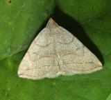 8348 – Grayish Zanclognatha – Zanclognatha pedipilalis
