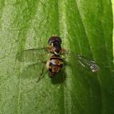 Toxomerus geminatus