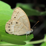 Appalacian Brown - Lethe appalachia