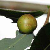 Pontania sp. gall