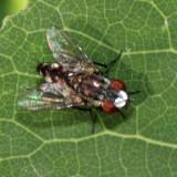 Satellite Fly - Miltogramminae - Metopia sp.