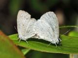 Summer azure - Celastrina neglecta