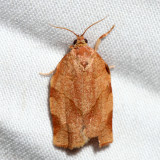 3635 – Oblique-banded Leafroller – Choristoneura rosaceana