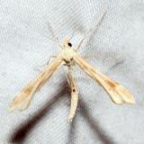 6107 – Gillmeria pallidactyla