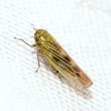 Aster Leafhopper - Macrosteles fascifrons
