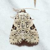 9065 - Green Leuconycta - Leuconycta diphtheroides