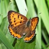 Bronze Copper - Lycaena hyllus