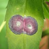 Asteromyia carbonifera