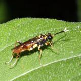 Macrophya varia