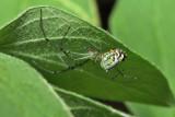 Orchard Orbweaver - Leucauge venusta
