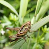 Roesel's Katydid - Metrioptera roeselii