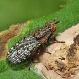 Marsh Fly - Dictya sp.