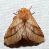 7698 - Forest Tent Caterpillar Moth - Malacosoma disstria