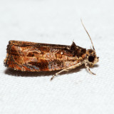 2800 – Variable Nigranum – Olethreutes nigranum