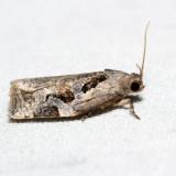 3660 – Gray Archips – Archips grisea