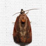 2866 – Spirea Leaftier Moth – Evora hemidesma