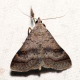 8370 - Bent-winged Owlet - Bleptina caradrinalis