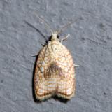3501 – Maple Leaftier Moth – Acleris forsskaleana