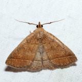 8353 – Wavy-lined Zanclognatha – Zanclognatha jacchusalis