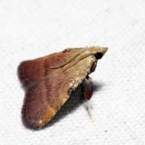 5571 - Drab Condylolomia - Condylolomia participalis