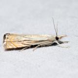 5391 – Topiary Grass-veneer – Chrysoteuchia topiarius
